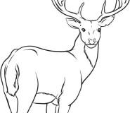Animal deer coloring pages