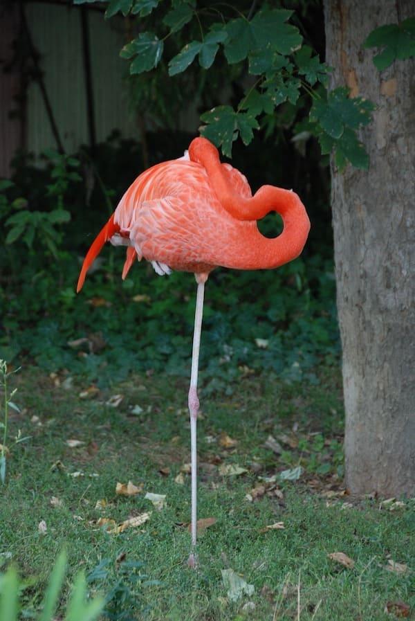 flamingo sleeping