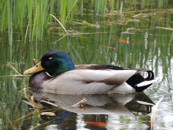 duck sleeping