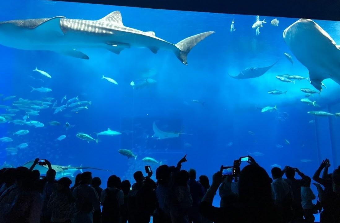 沖縄美ら海水族館のジンベエザメ