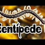 Centipedes For Kids