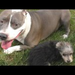 Pitbull vs 12 Week Old Morkie * Roc and Zumi Puppy Dog Playground DCTC