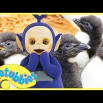Teletubbies English Episodes – Feeding Baby Penguins ★ Full Episode 243