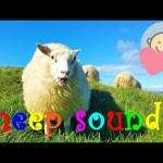 🎧 Crazy sheep scream | Sheep sound and baaing | Funny animal sounds for children to learn