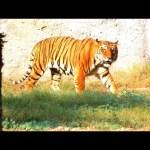Animal World – Tiger