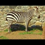 Animal World – Zebra