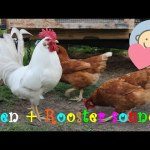 🎧 Hen and Rooster sounds effect noises | Crowing | Domestic Animals sounds for children to learn