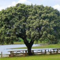 A Árvore Europeia do Ano é um sobreiro português