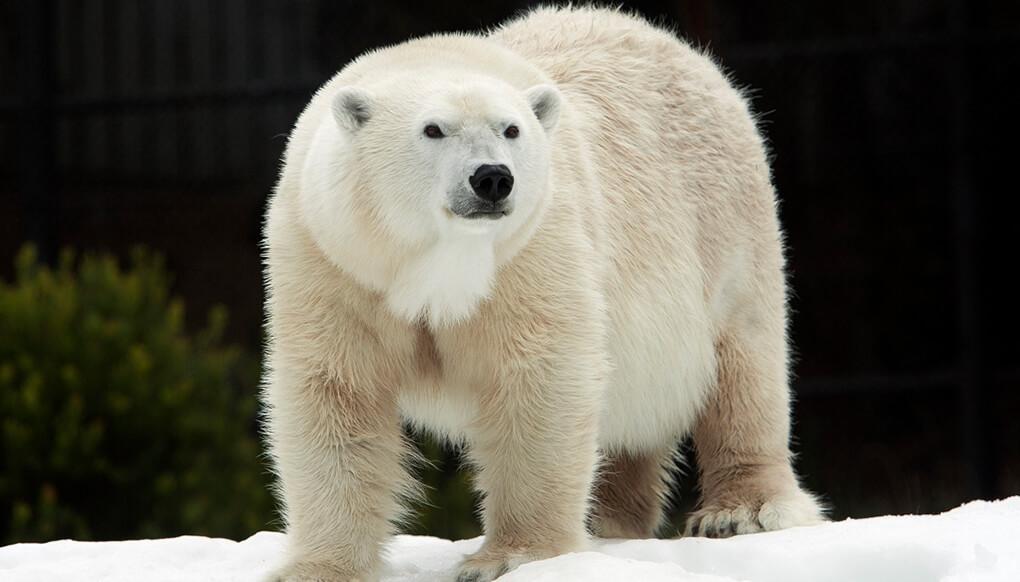 Polar Bear San Diego Zoo Kids