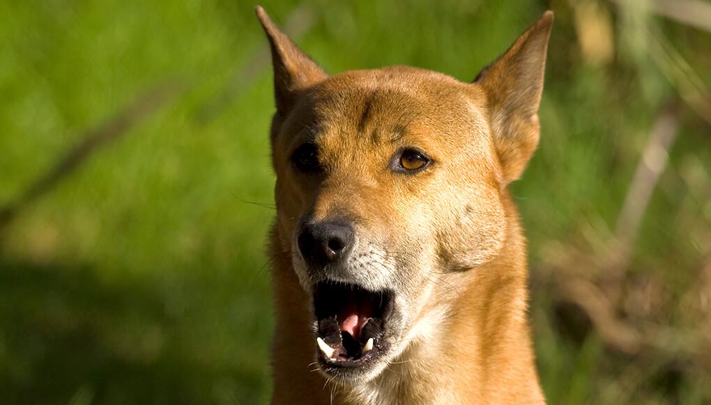 New Guinea Singing Dog San Diego Zoo Kids