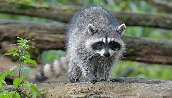 North American raccoon | San Diego Zoo Kids