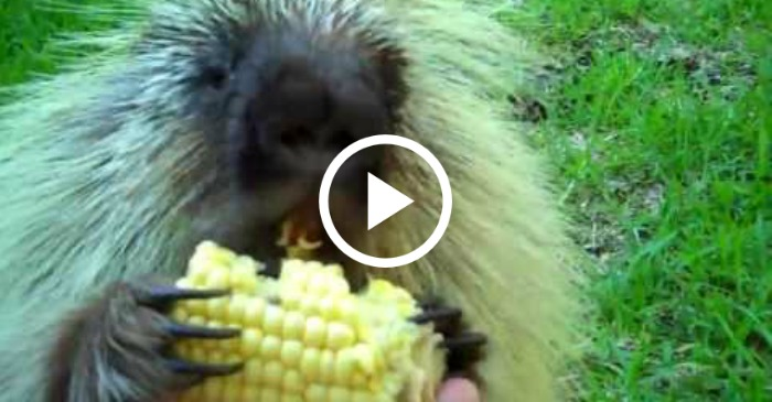 This Talking Porcupine Does NOT Like To Share Corn