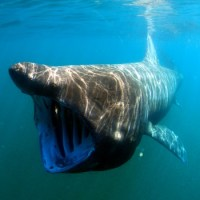 Basking Shark Facts for Kids - Fun Facts and Information