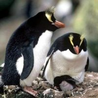 Fiordland Penguin Facts for Kids