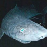 Greenland Shark Facts for Kids - Greenland Shark Interesting Facts & Information