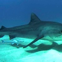 Tiger Shark Facts for Kids - Interesting Facts and Information