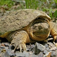 Common Snapping Turtle Facts for Kids