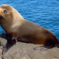 Fur Seal Facts for Kids