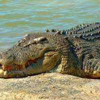 Saltwater Crocodile Facts for Kids - Interesting Facts and Information
