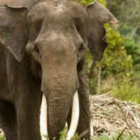 Sumatran Elephant Facts for Kids