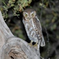 Elf Owl Facts for Kids