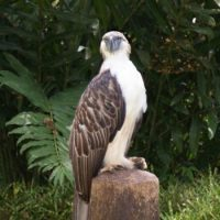 Philippine Eagle Facts for Kids