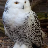 Snowy Owl Facts for Kids