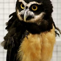 Spectacled Owl Facts for Kids