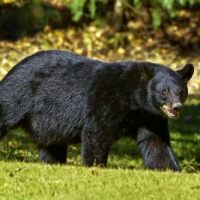 American Black Bear Facts for Kids