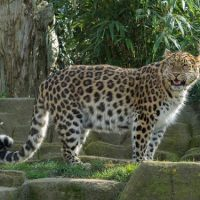 Amur Leopard Facts for Kids - Amur Leopard Interesting Facts