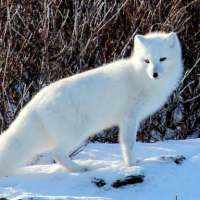 Arctic Fox Facts for Kids - Interesting Facts about Arctic Fox