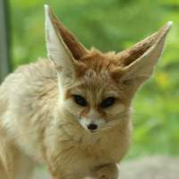 Fennec Fox Facts for Kids