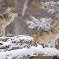 Gray Wolf Facts for Kids - Gray Wolf Facts & Information