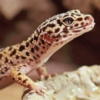 Leopard Gecko Fun Facts for Kids