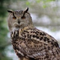 Long-eared Owl Facts for Kids
