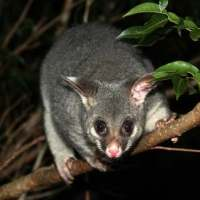 Ringtail Possum Facts for Kids