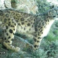 Snow Leopard Facts for Kids - Endangered Snow Leopard Facts