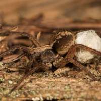 Wolf Spider Facts for Kids