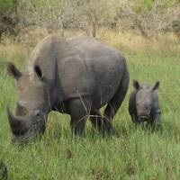 White Rhino Facts For Kids - Northern White Rhino Facts