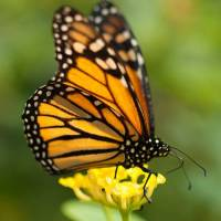 Monarch Butterfly Facts for Kids - Interesting Information about Monarch