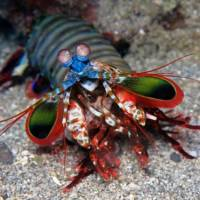 Mantis Shrimp Facts for Kids