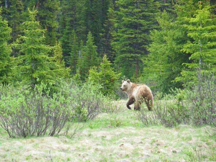 Things to do in Jasper Alberta see wildlife-Kids Are A Trip