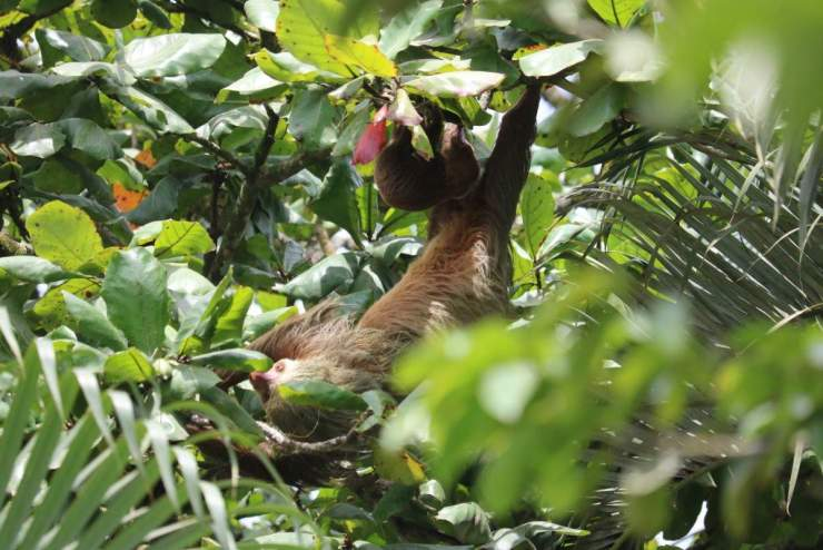 Adventures by Disney Costa Rica Vacation Sloth and Baby-Kids Are A Trip