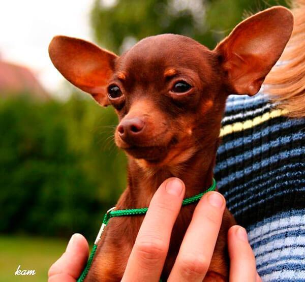 Что важно знать о стандарте чихуахуа? Как меняется чихуахуа по мере роста? Чихуахуа вес взрослой собаки стандарт.