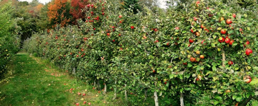 Apple_Picking_Orchard_7_New_England_Fall_Events_850