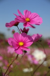 Cosmos Flowers Olympic Park