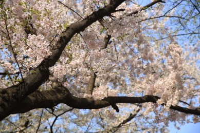 Cherry Blossom Seoul, Kyunghee