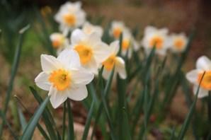 Narcissus Jade Garden Korea