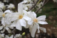 Magnolia Jade Garden Korea