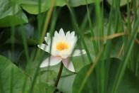 Lotus flower Korea